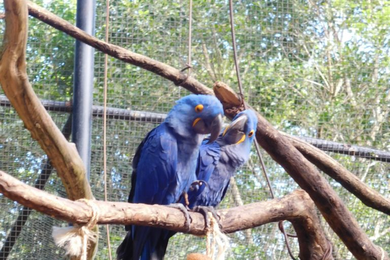Two blue parrots sitting on a branch facing each other, a cage in the background