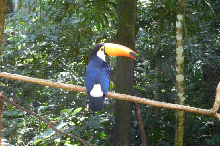Tucan looking over its shoulder sitting on a branch, cage and trees in the background