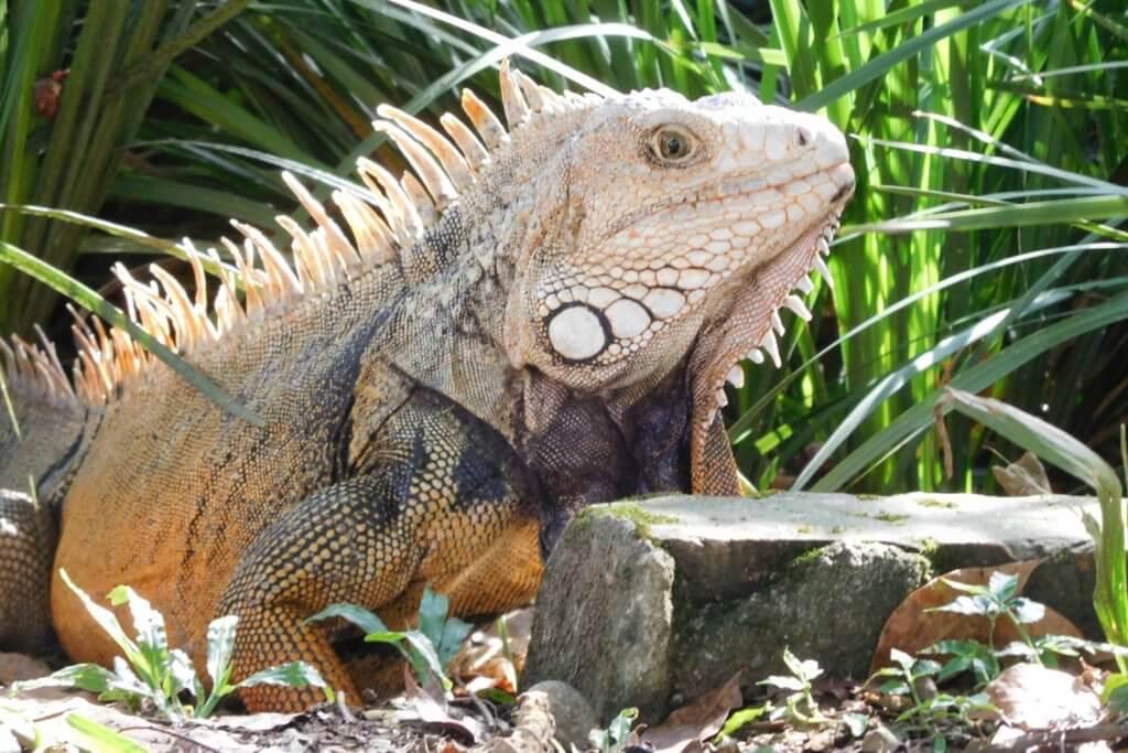 Oranje iguana in botanische tuinen in Medellín