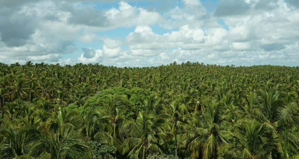 Palmbomen plantage onder bewolkte lucht